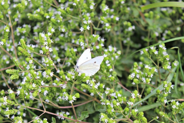 White butterflies (3)